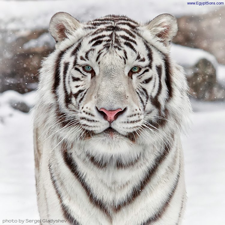 Snow Cat -  tiger