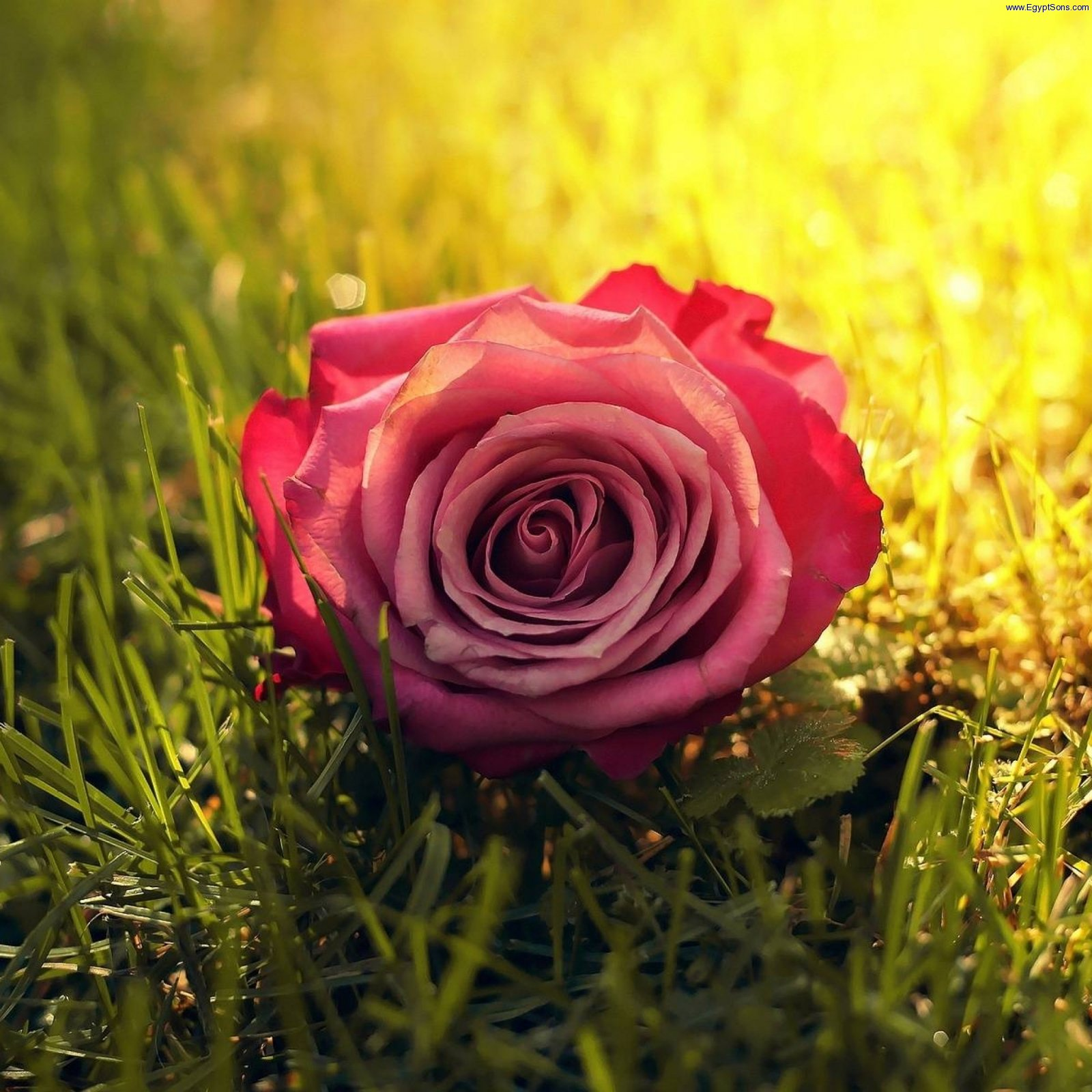 Rose Grass Sunbeam